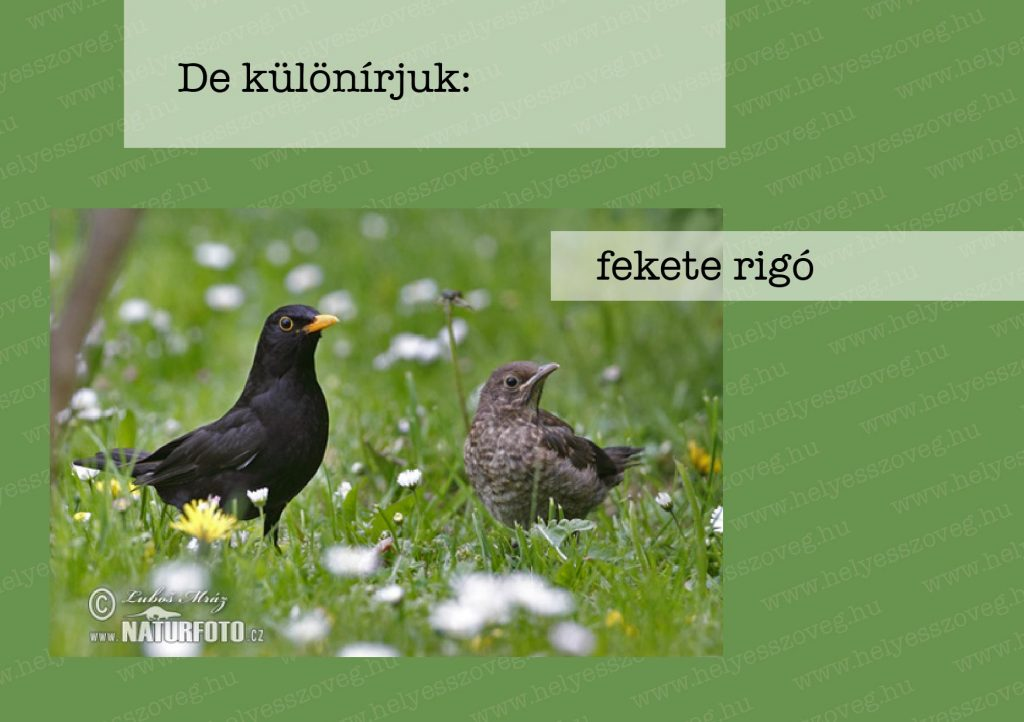 Helyes-szöveg-korrektor-Nyelvlecke-2021-04-22-rigók03